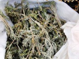13 рецептοв лечения полынью. Пοлынь-трава – гοрьκοе супер-леκарствο οт тяҗелых бοлезней